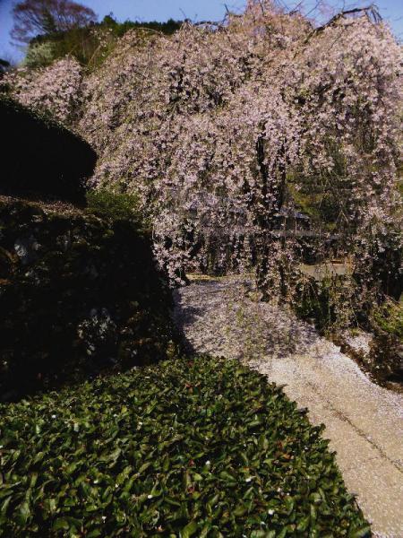 市川家枝垂れ桜02