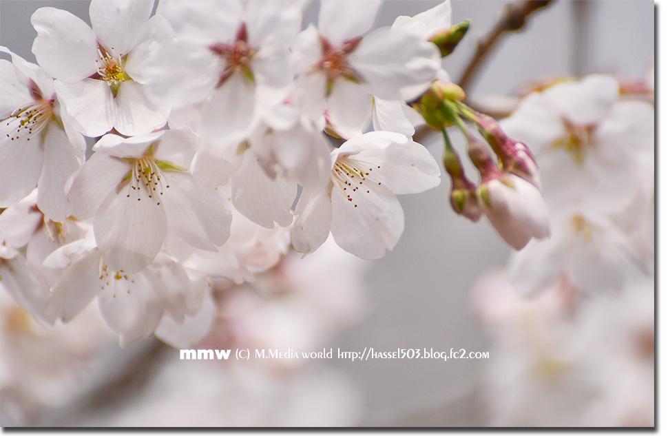 sakura_05.jpg