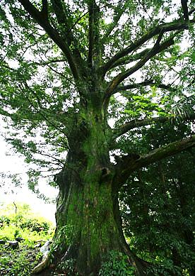 カヤの巨樹