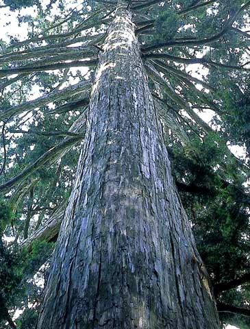 ヒノキの巨樹
