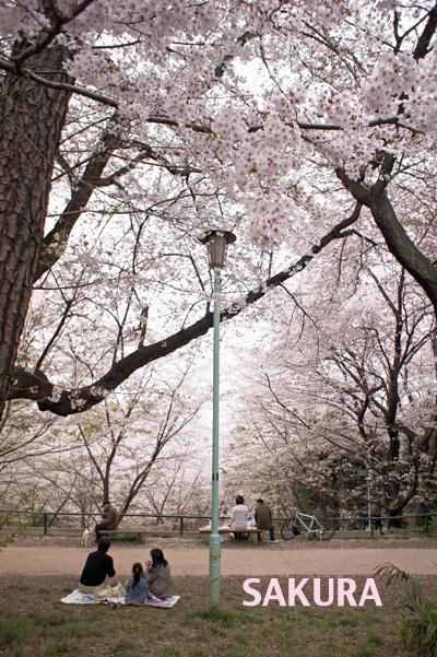 もひとつ桜