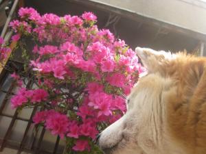 ツツジが咲いてるで