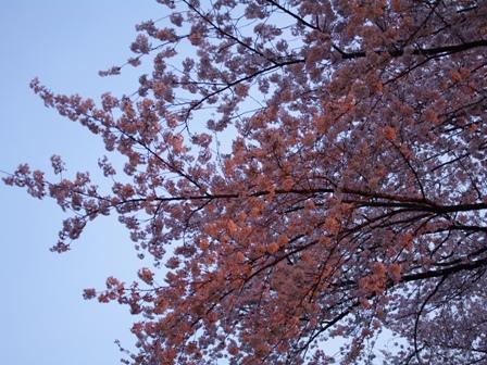 夕日に照らされた満開の桜を見上げて