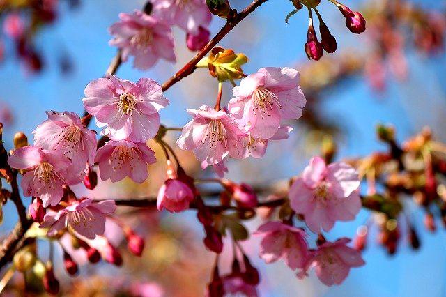 春の予感(河津桜)
