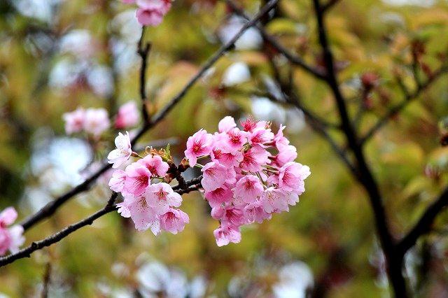 桜咲くやよいの頃