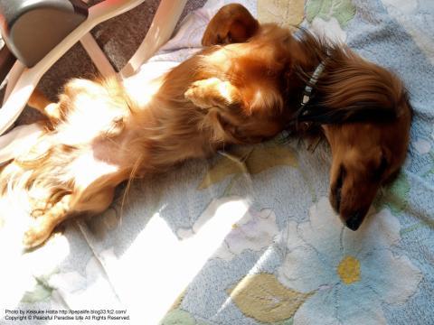 仰向けで昼寝する犬