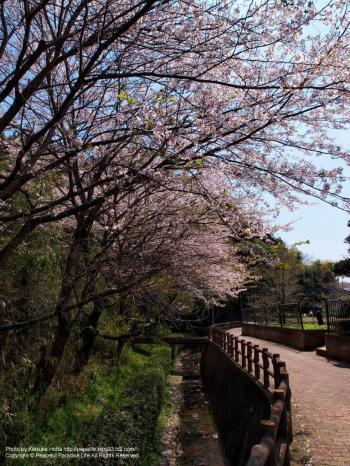 春の小川と桜