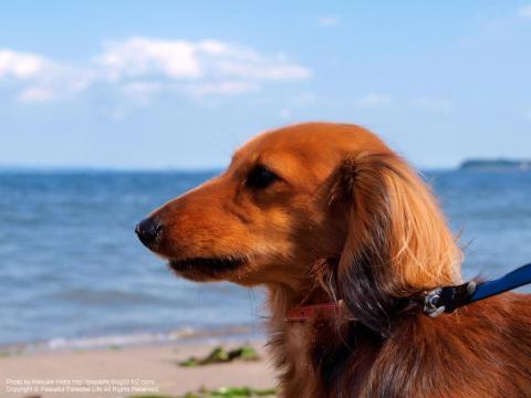 初めて海を見るミッキー(犬)