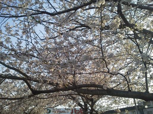 sakura_happy2011.jpg