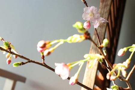 うちの河津桜開花