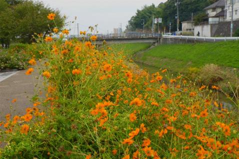 kosumosu0.jpg