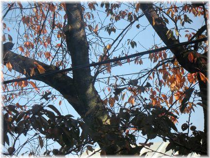 家の前にある桜の樹です・・・春は家で花見が出来ま?す